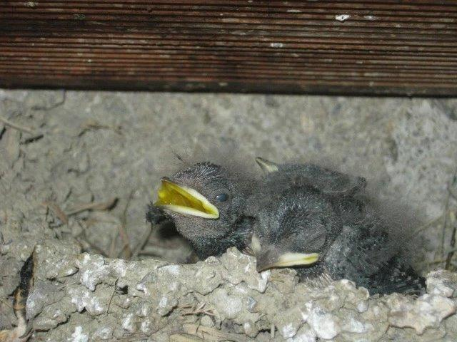 nido di rondine e rondinotti