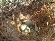 nido ulivo uova verdoline (1)