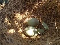 nido ulivo uova verdoline (2)