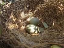 nido ulivo uova verdoline (3)