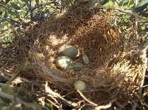 nido ulivo uova verdoline (5)