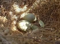 nido ulivo uova verdoline (6)
