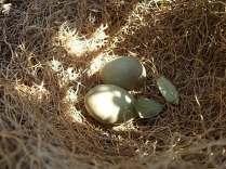 nido ulivo uova verdoline (7)