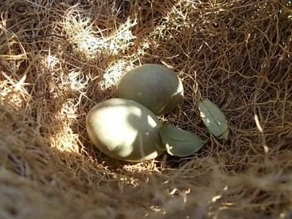 nido ulivo uova verdoline (8)