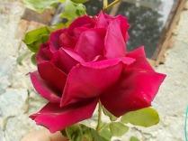 rosa antica (2)