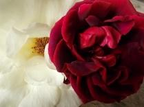 rosa bianca e porpora vertine (1)