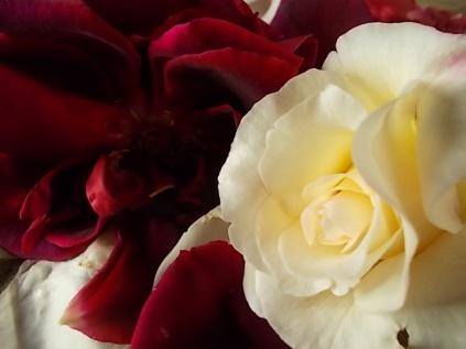 rosa bianca e porpora vertine (11)