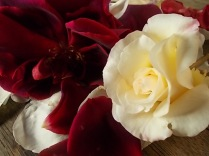 rosa bianca e porpora vertine (12)