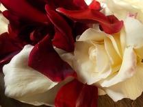 rosa bianca e porpora vertine (16)
