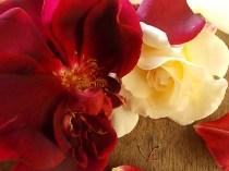 rosa bianca e porpora vertine (17)