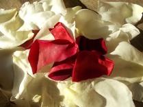 rosa bianca e porpora vertine (19)