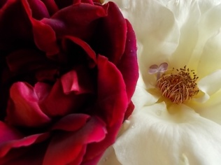 rosa bianca e porpora vertine (2)