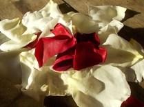 rosa bianca e porpora vertine (20)