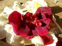 rosa bianca e porpora vertine (22)