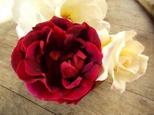 rosa bianca e porpora vertine (4)