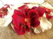 rosa bianca e porpora vertine (7)