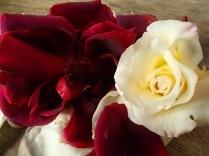 rosa bianca e porpora vertine (9)