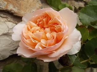 rosa candore (1)