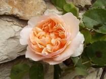 rosa candore (2)