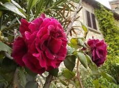 rose chiesa vertine (1)