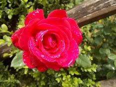 rose commosse (2)