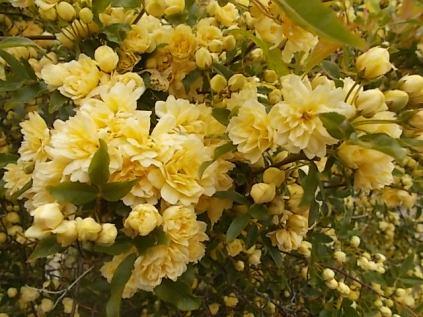 roselline a cespuglio (1)