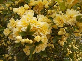 roselline a cespuglio (2)