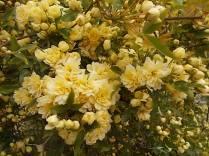 roselline a cespuglio (3)