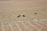 siena, erba in piazza del campo 2020 (13)