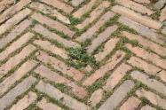siena, erba in piazza del campo 2020 (14)