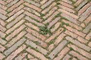 siena, erba in piazza del campo 2020 (16)
