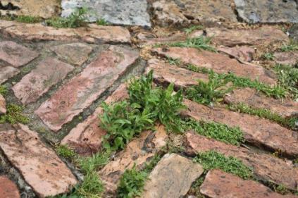 siena, erba in piazza del campo 2020 (33)