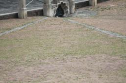 siena, erba in piazza del campo 2020 (6)
