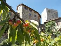 vertine ciliegie nell'orto (1)