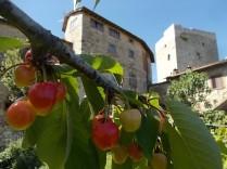 vertine ciliegie nell'orto (3)