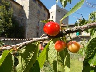 vertine ciliegie nell'orto (4)