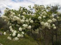 Viburnum opolus (2)