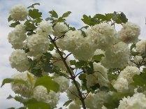 Viburnum opolus (3)