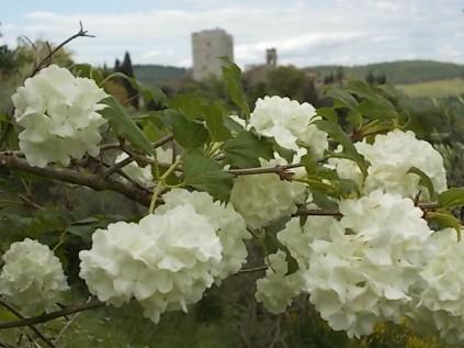 Viburnum opolus (5)