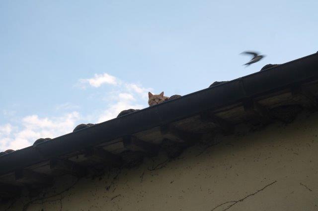 gatto e rondine pacina