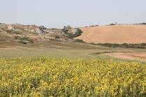 girasoli, biancane, leonina, grano, (13)