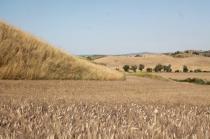 girasoli, biancane, leonina, grano, (2)