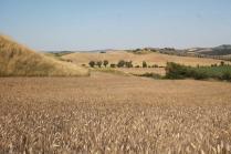 girasoli, biancane, leonina, grano, (3)