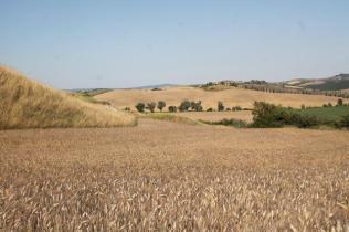 girasoli, biancane, leonina, grano, (5)