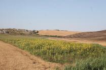girasoli, biancane, leonina, grano, (9)