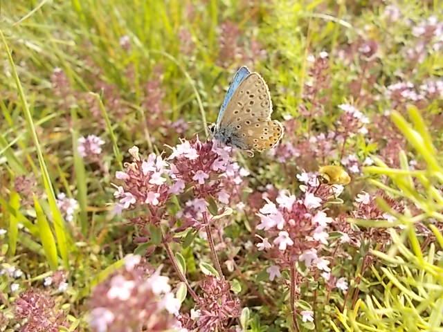 serpillo, timo selvatico e farfalla celeste