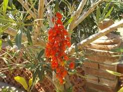 pomodori oleandro vasco vertine