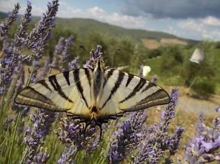 lavanda vertine e farfalla (1)