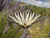 lavanda vertine e farfalla (5)