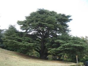 cedro monumentale badia a coltibuono (1)